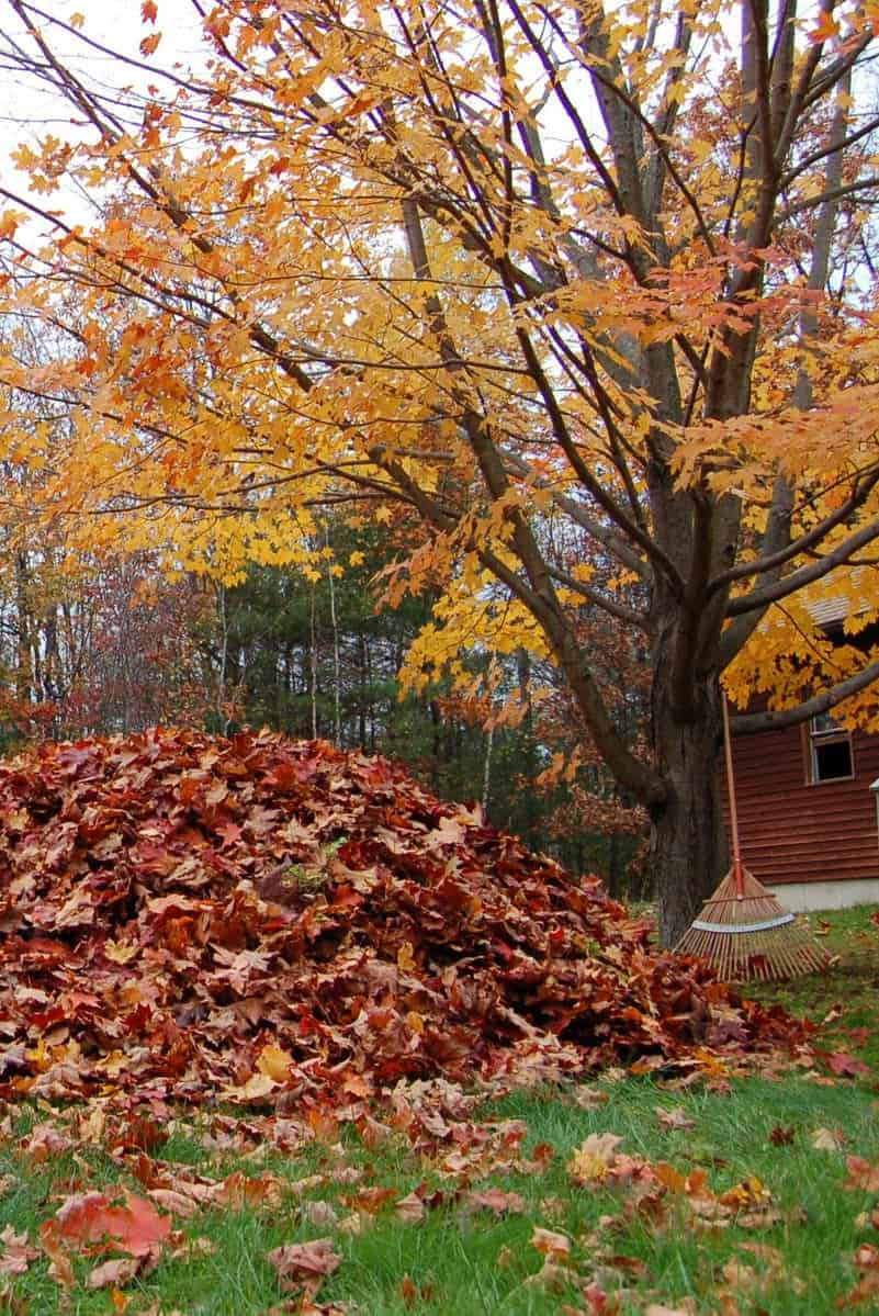 pile of leaves in the fall